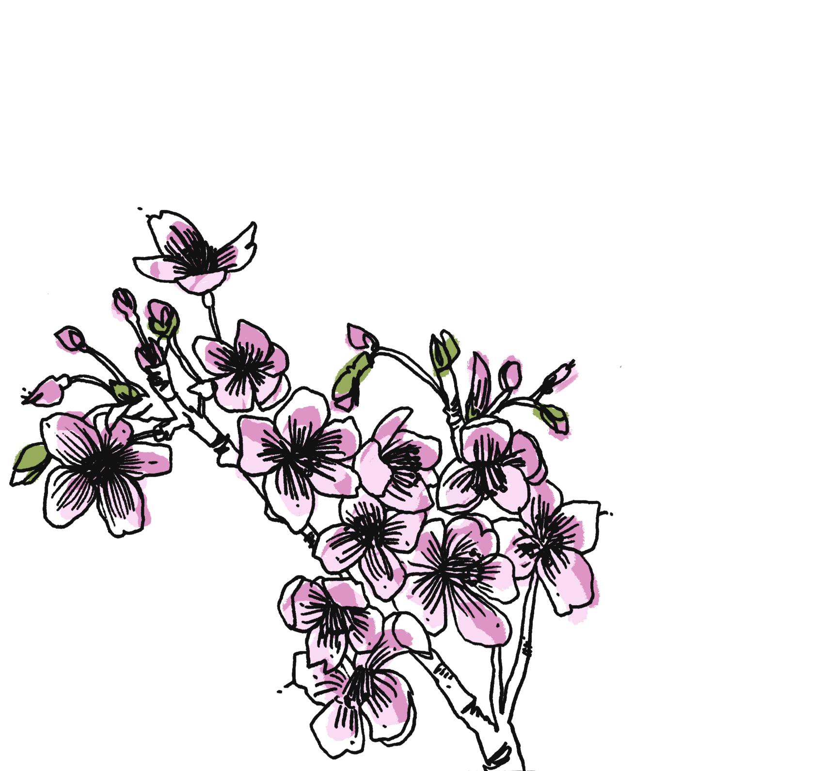 cherryblossumillustration.png