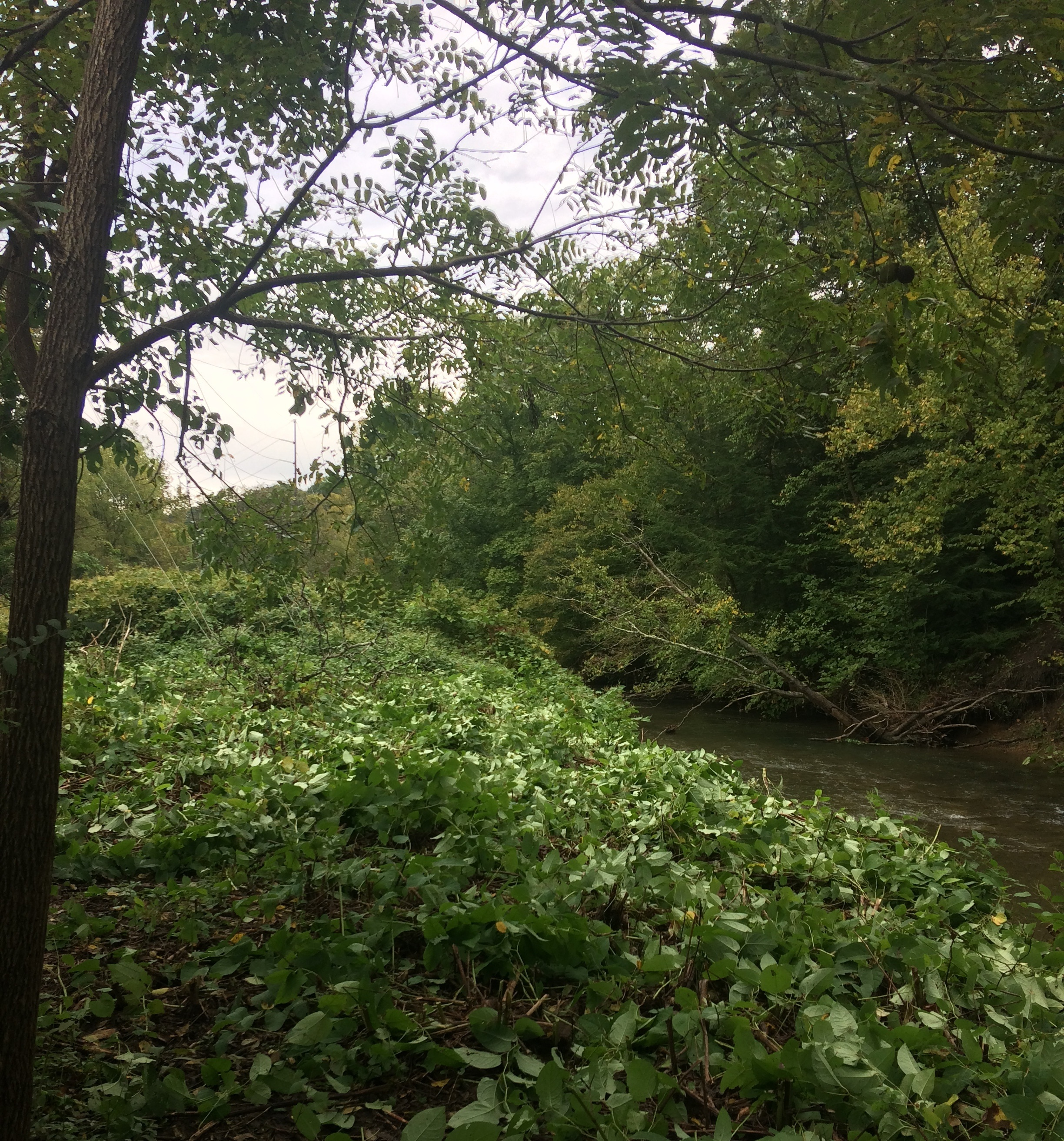 June 2018: Japanese Knotweed cut down in preparation for riparian buffer planting at the Forestbrooke Conservation Area.
