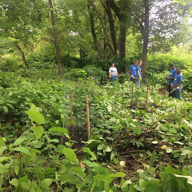 Big thanks to @the_sca and @hollow_oak_land_trust  for partnering with @accd_pa and AWA to implement another successful #riparianbuffer maintenance day. #japaneseknotweed and #reedcanarygrass managed to give trees and shrubs a chance to grow.  #earnandlearn #teamwork #invasivespecies #ecologicalrestoration