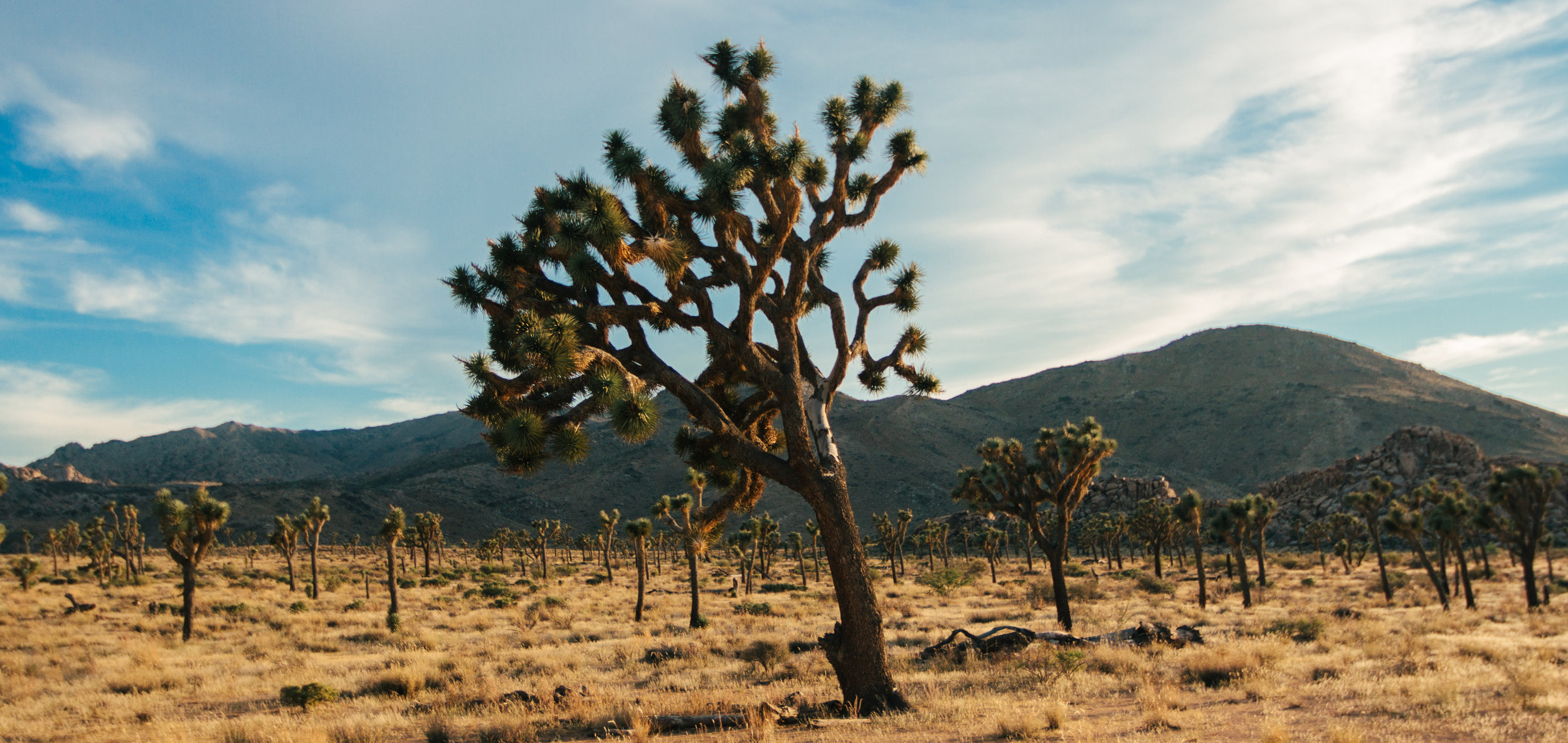 Joshua tree 2 (3 of 3).jpg