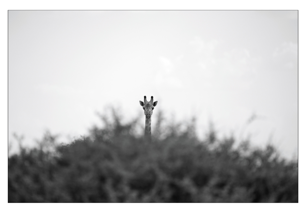 Giraffe_Serengeti.jpg