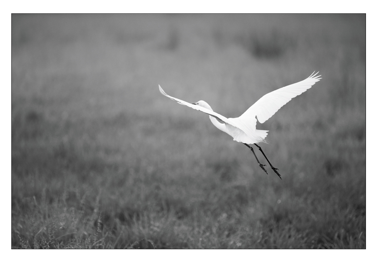 Take Flight_Male Egret.jpg