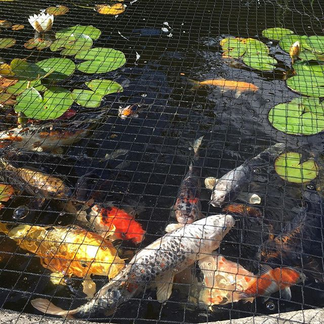 And so happy to see my girls . Moving them to Spain soon . #japanesekoi #catalyuna