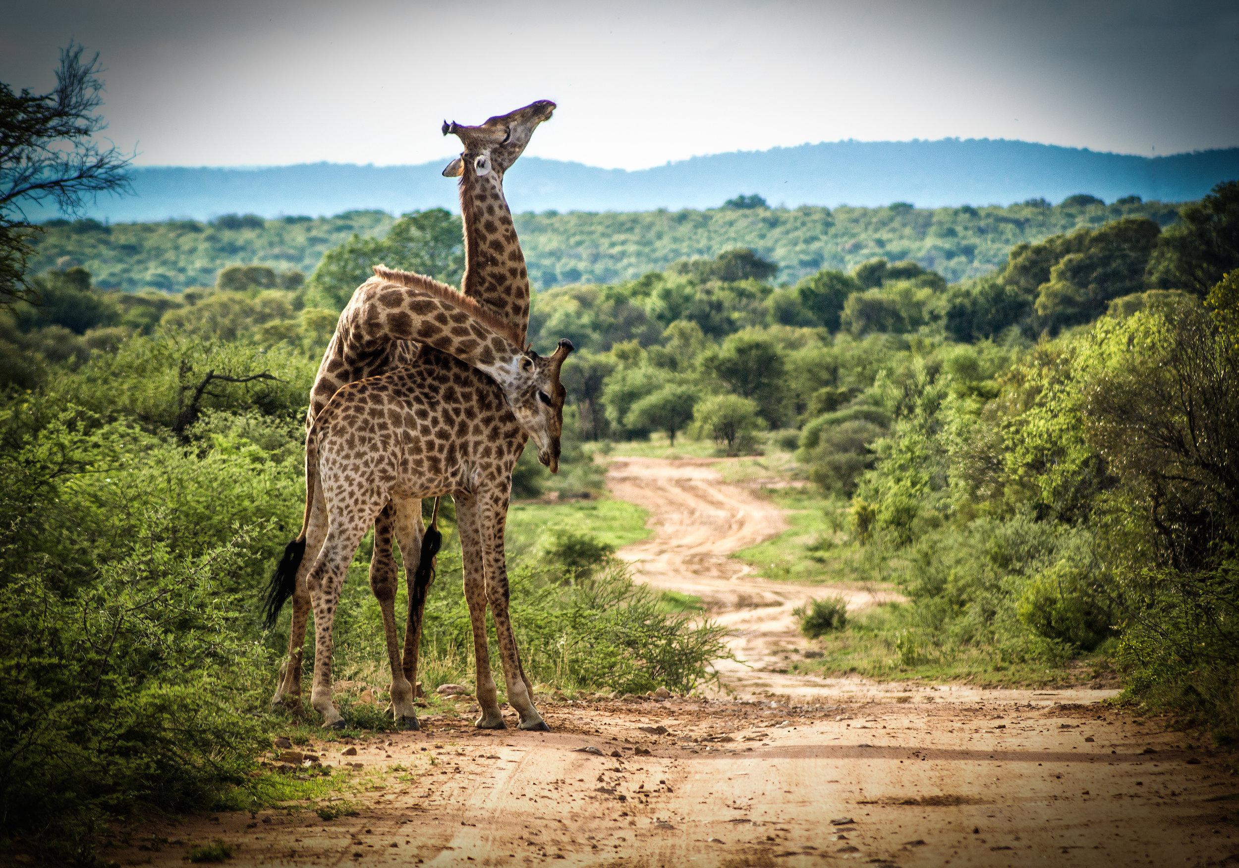 picfair-0465490-giraffe-fighting.jpg