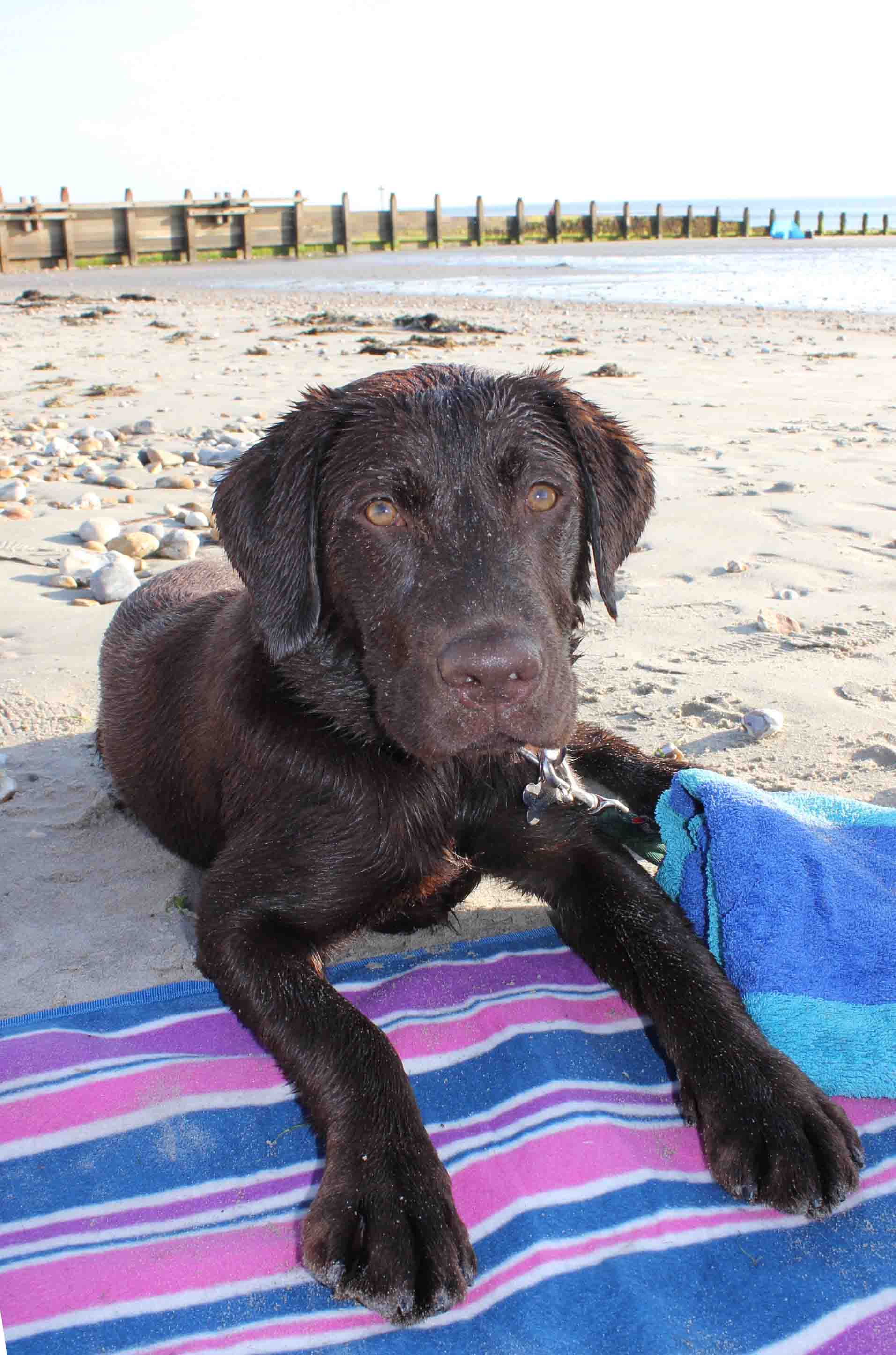 'Lord Byron' the Wonder-Pup at West Wittering Beach, 2017.