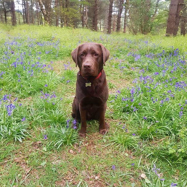 Tail's up, life is good 🐶💕 • • • • • #visitengland #uktravel #surreywalks #surreyhills #countrylife #ilovebluebells #worldcaptures #travelgram #lab #labrador #labsofinstagram