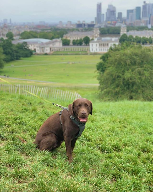 Always the star of the show ❤ photo credit to @fantastic_al_ 📸 • • • • • #london🇬🇧 #londondogs #lablife #labrador #retrievergram #retrieveroftheday