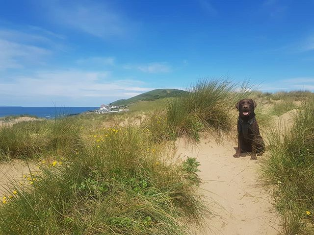 No beach scene is complete without the enthusiasm of a labrador!  #dogsofinstagram #beachpup #labrador #devon #visitdevon #uktravel #travelgram  #labsofinstagram