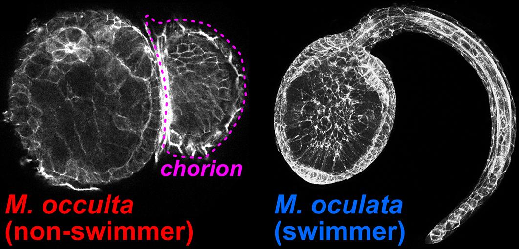 Non-swimming ( Molgula occulta)  and swimming ( Molgula oculata)  larvae.