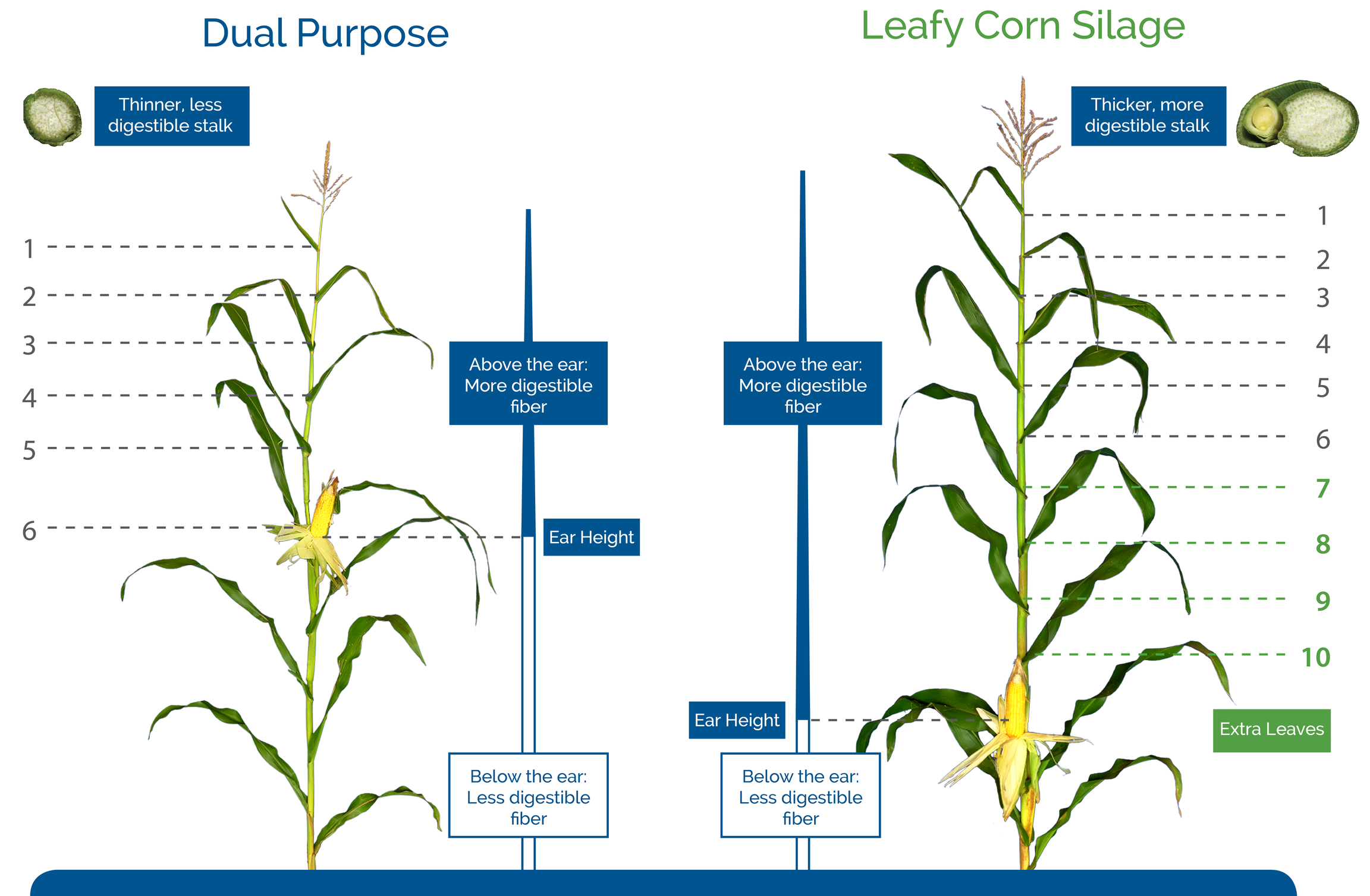 Leafy-Corn-Silage-Fiber-Digestibility.jpg