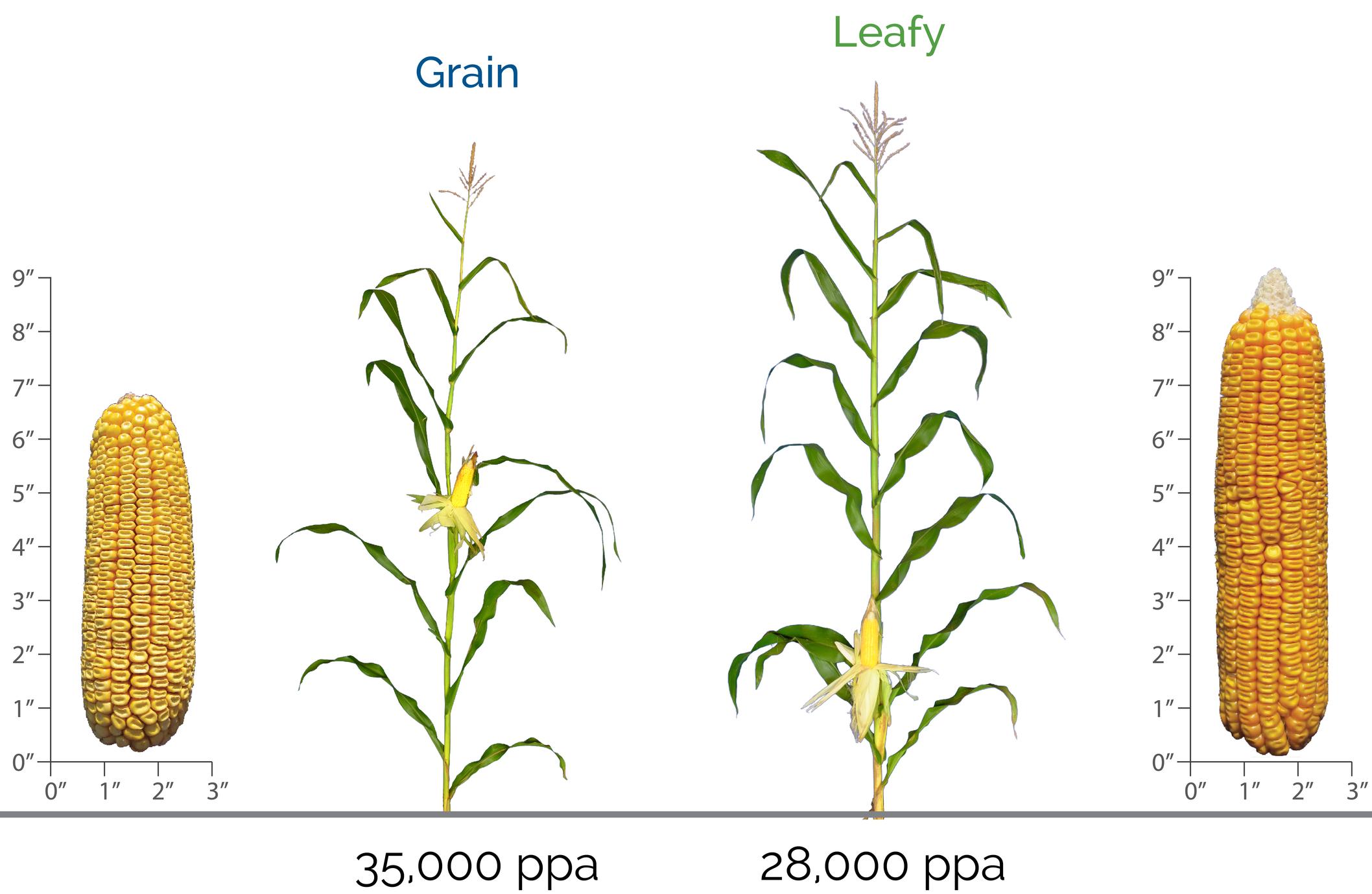 leafy-corn-silage-versus-dual-purpose-corn.jpg