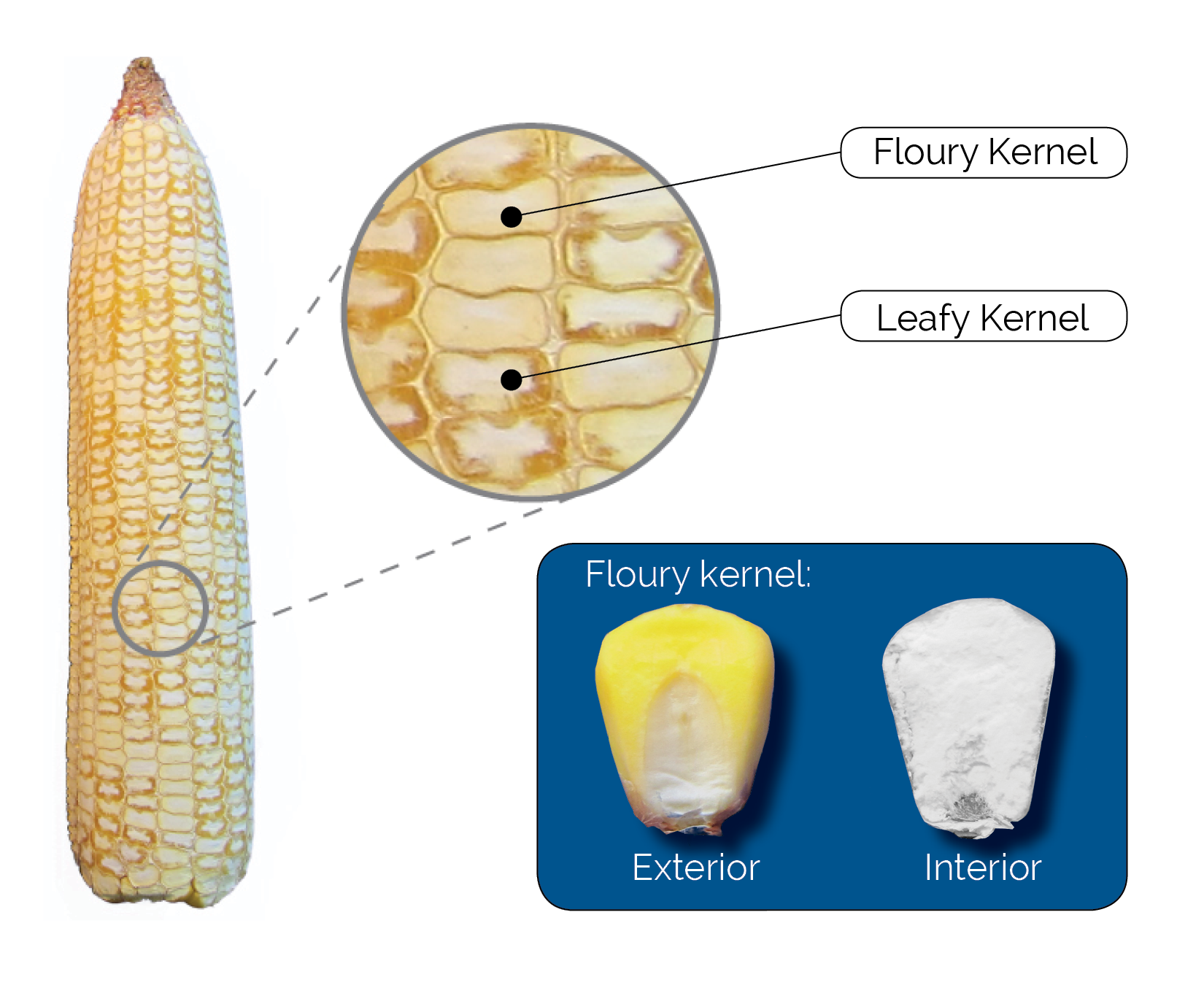 Floury Leafy ear shaved to reveal kernel composition. Approximately 25% of the kernels on each ear are completely floury.
