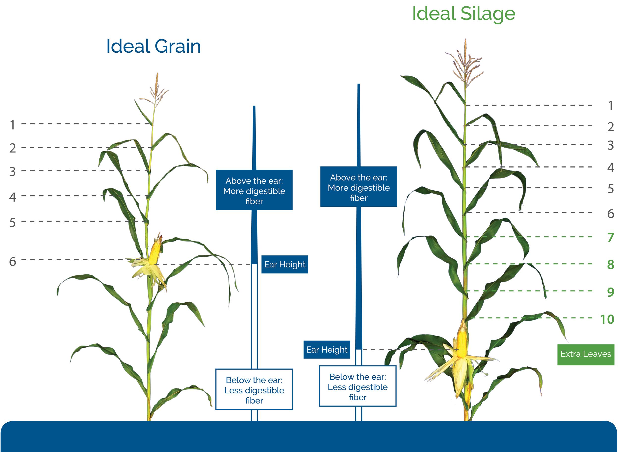 grain-versus-silage-corn-hybrids.jpg