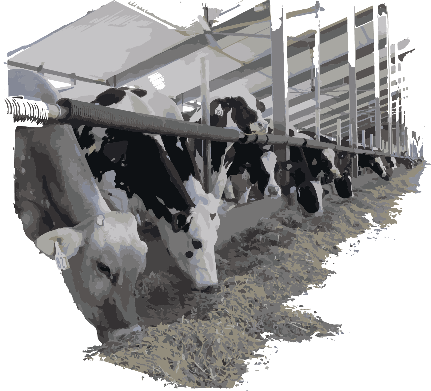 cows-eating-leafy-corn-silage.png