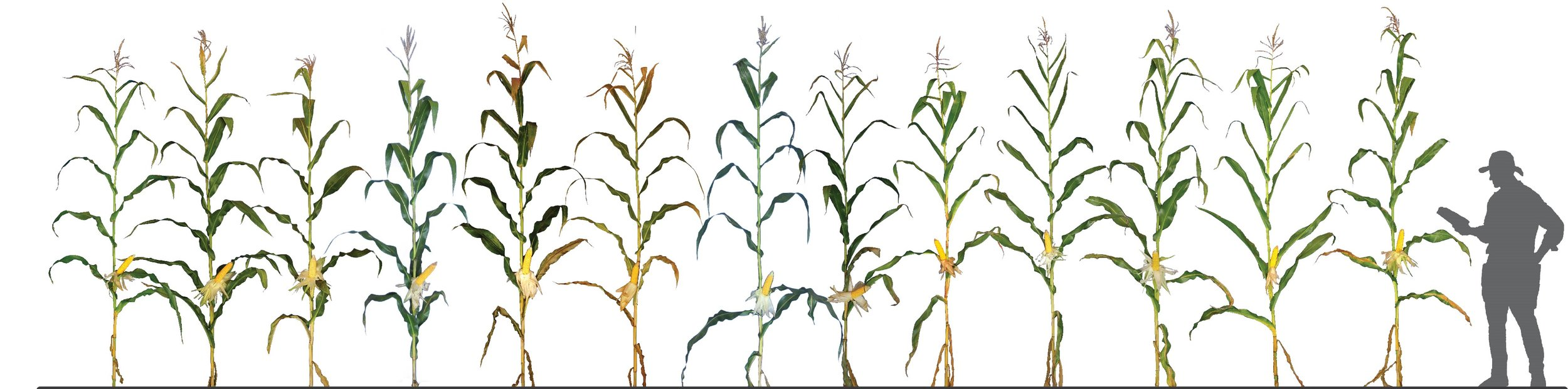 A sample of our commercial silage-specific corn hybrids that have proven themselves during our rigorous silage testing program. Multiple repetitions of each hybrid have performed in a range of locations through various environmental pressures over several seasons before they are recommended to our customers as a product for them to test in their environment before they come to market.