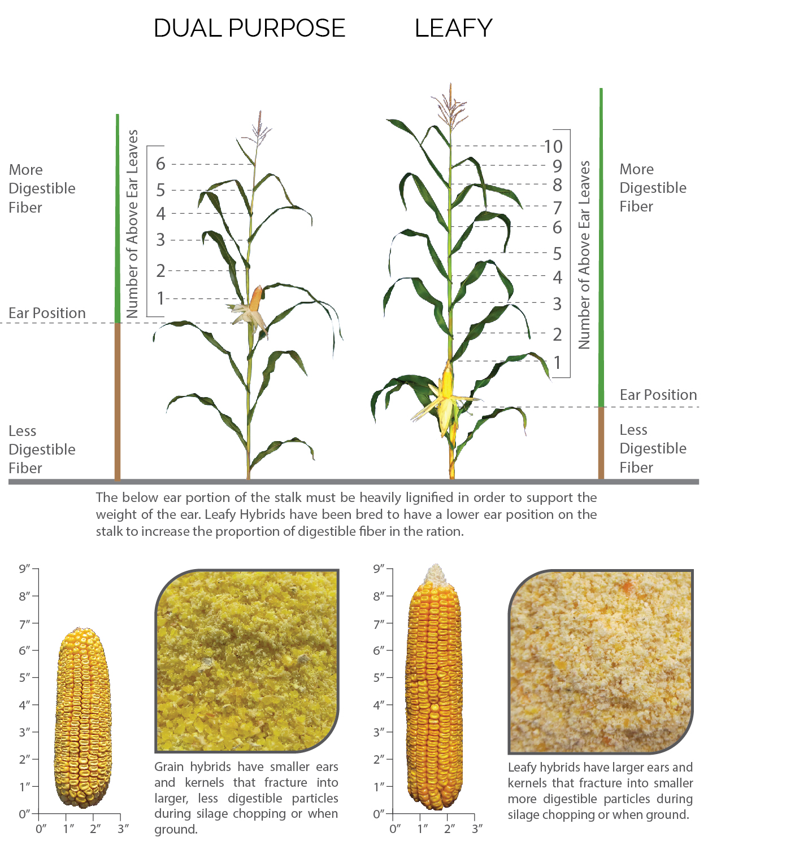 Leafy-Corn-Silage-versus-Grain.jpg