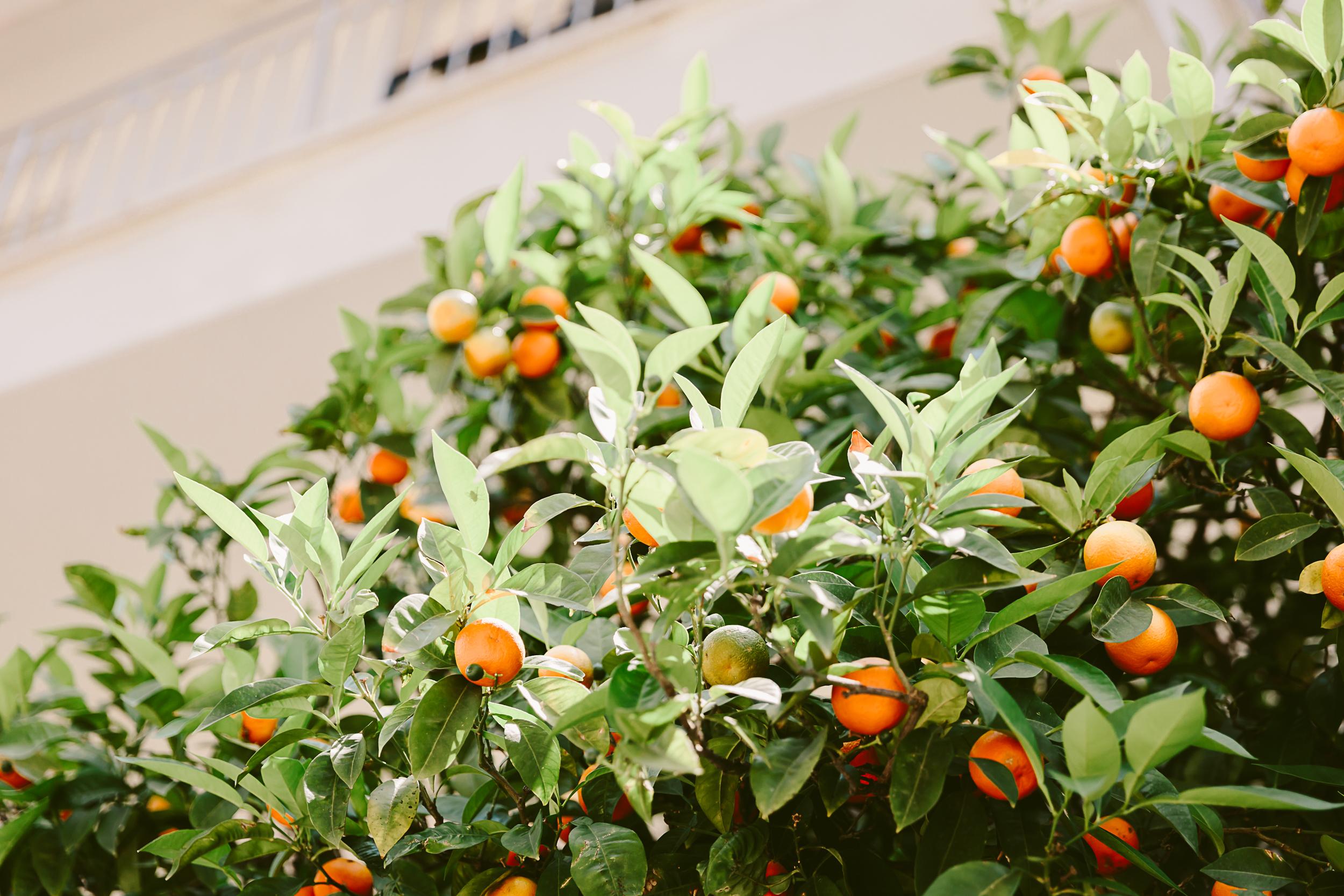 travelphotographer/athens/oranges.jpg