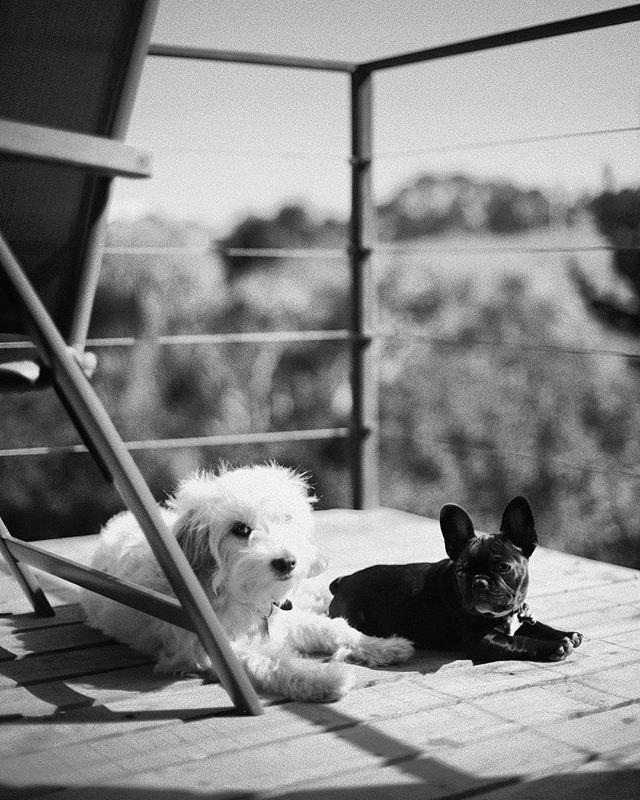 Cuando estamos de vacaciones aprovechamos el solcito mañanero.  @manchadiaz @harleythefrenchiediaz  #vidadeperro #pichi #diazhouse #pichilemu #photoshoot #b&w #blackandwithe #pirris #dogs #pet #photography #chile