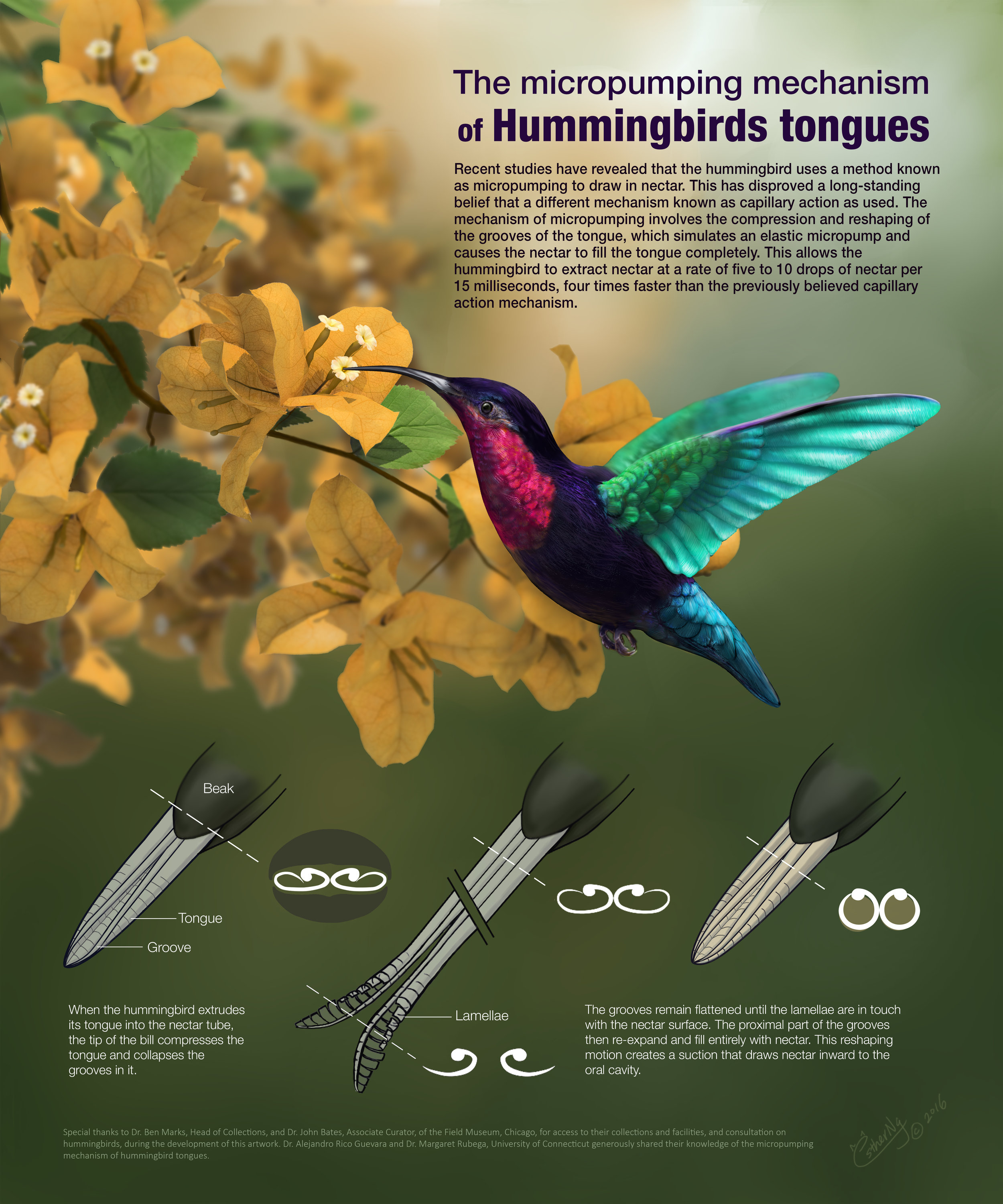 Esther Ng - created this beautiful poster on how the hummingbird's tongue works.