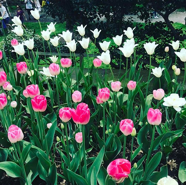 Still dreaming about these insanely gorgeous tulips at the @brooklynbotanic last weekend 😍 . . . . . #lizbickleystudios #events #eventplanning  #colors #love #springtime #springinthecity #springflowera #newyork #inspiration #partyplanning #eventplanners #nycevents #spring #cocktailparties #succulents #florals #nyc #ues #nycflorist #events #naturalbeauty #cherryblossomfestival