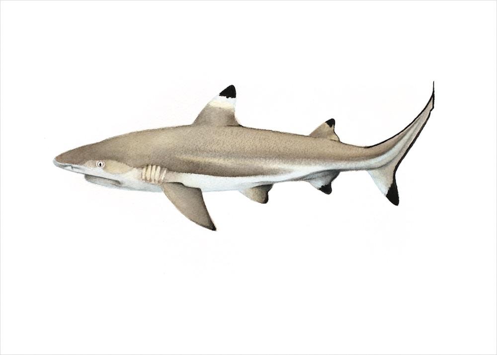BC_shark_RGB2_5x7.jpg