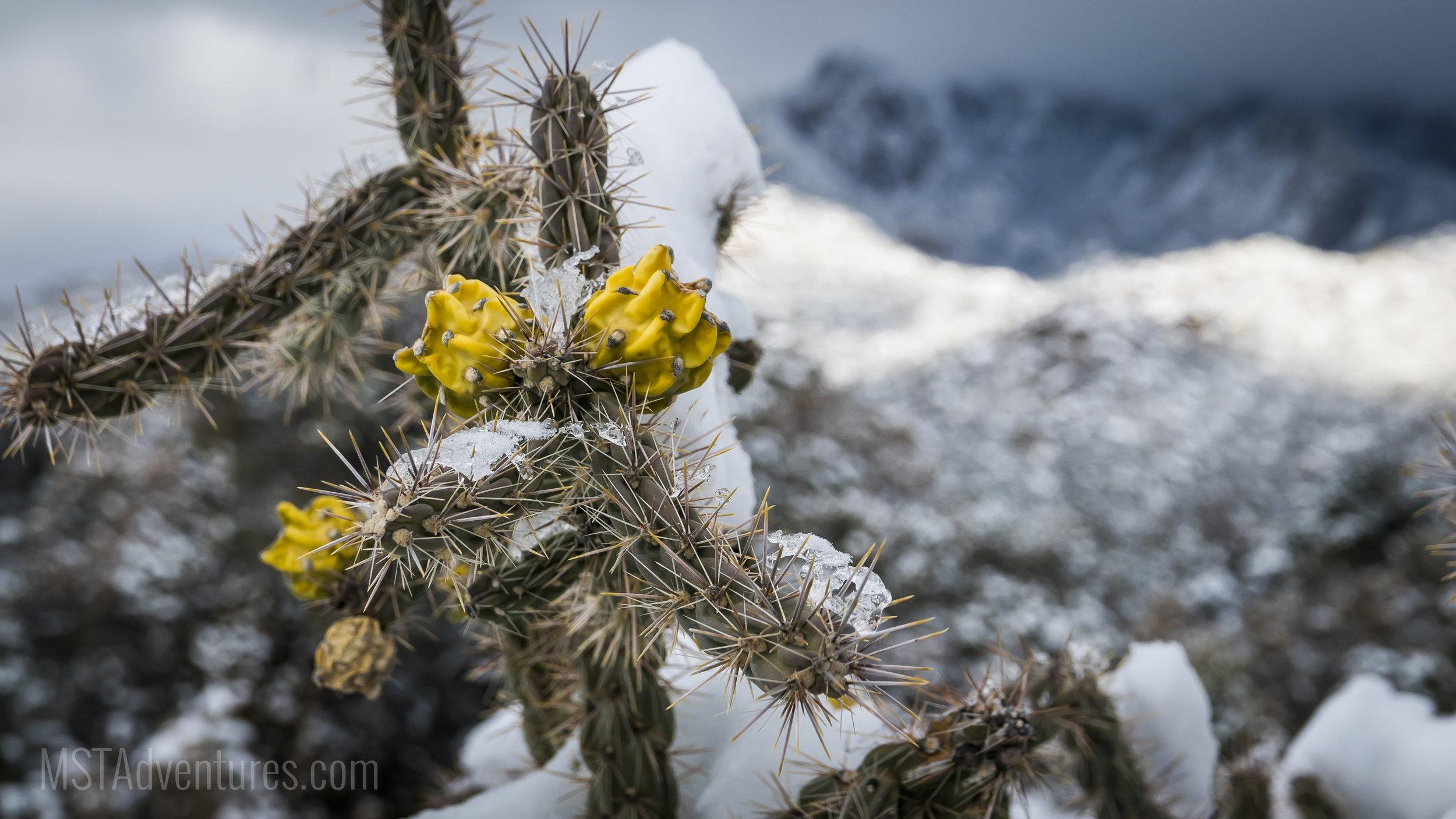 Cholla Snow.jpg