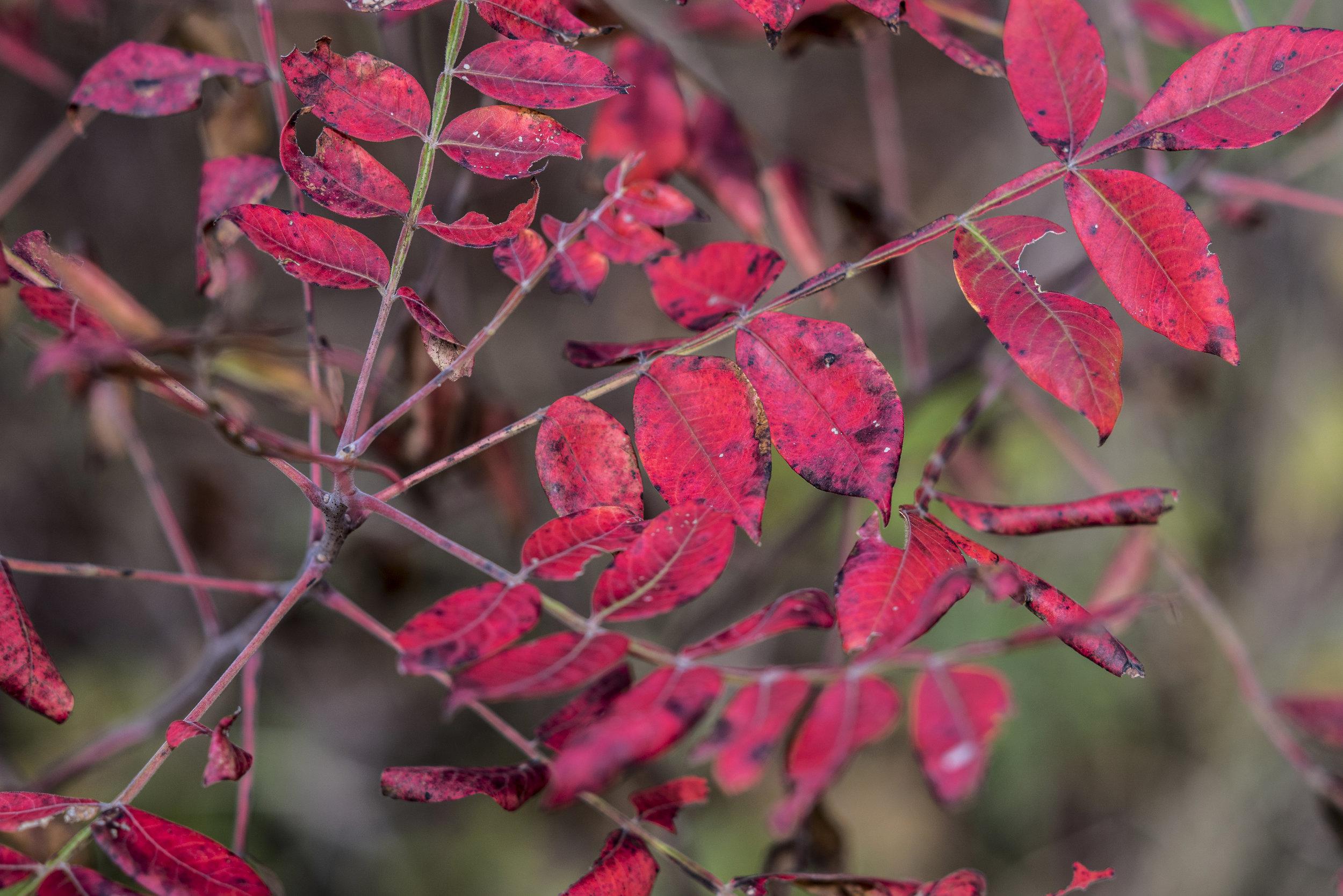RED LEAF_1.jpg