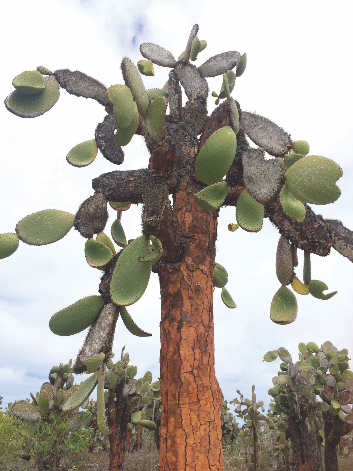 A full grown Opuntia echios, known as the   Galápagos prickly pear