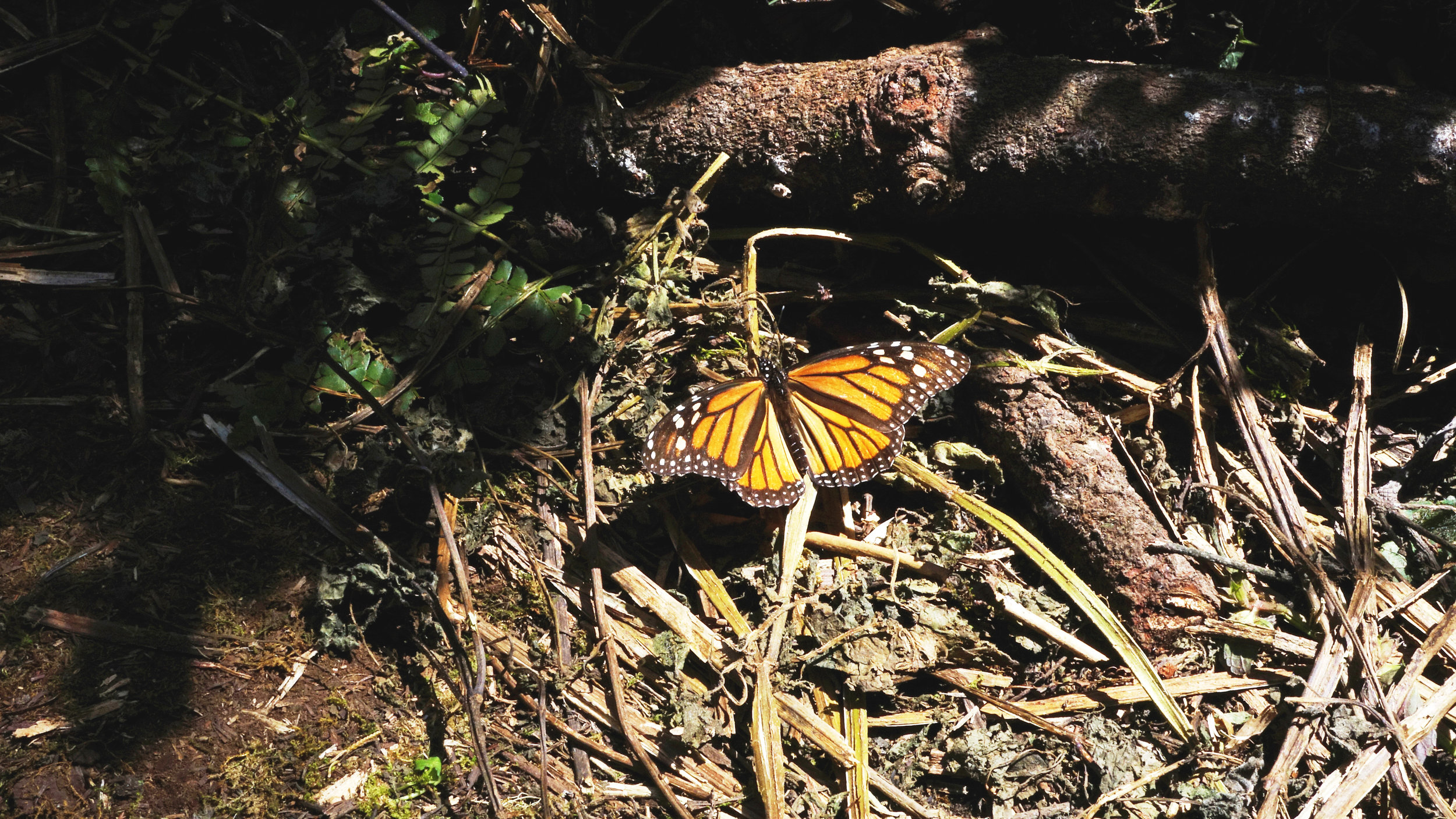 The iconic monarch butterfly relies on the oyamel trees in the bioshpere reserve to protect them from the winter chill.