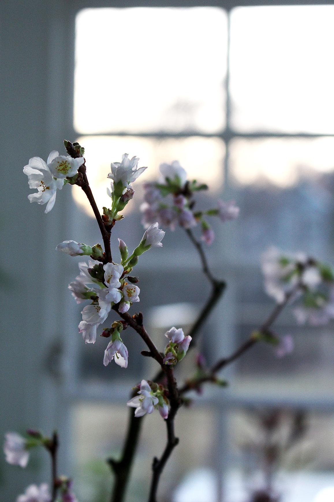 PrunusAccolade_HannaWendelbo