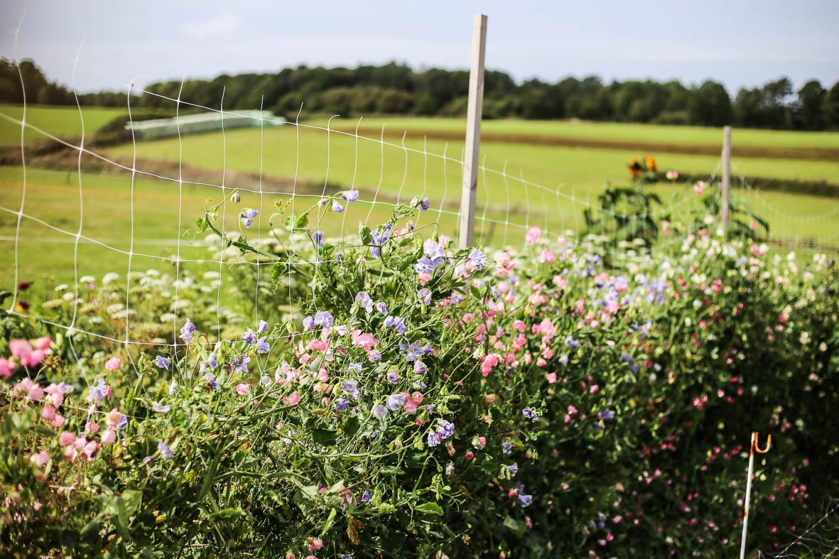 Luktärter på Blomsterfarmen i Bröndome