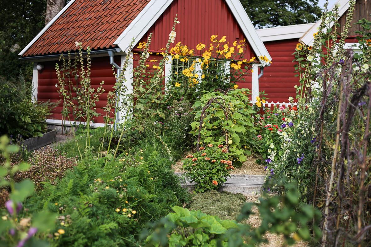 Zinnia, morötter, luktärter och fänkål trivs i trädgårdens upphöjda täckodlade bäddar.