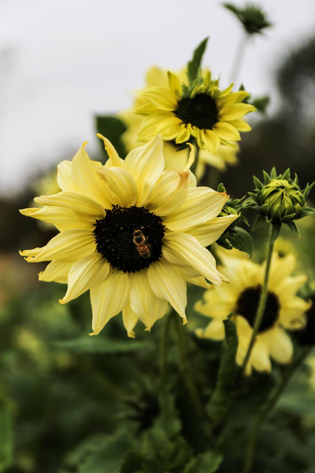 Solrosor, närodlade blomster i säsong!
