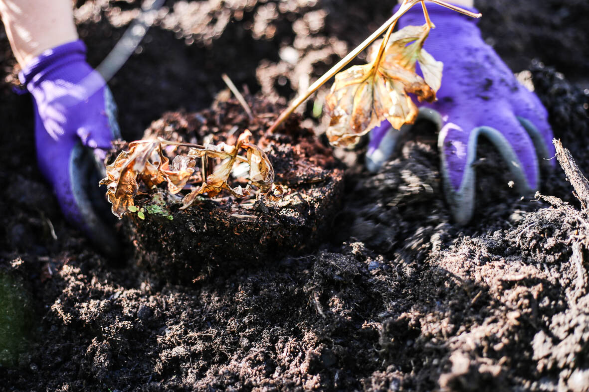 Plantera pionen på samma djup som den stod i krukan.