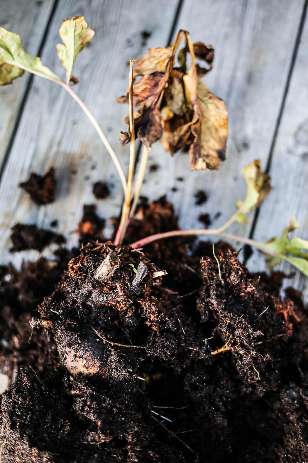 Även om pionens blad är nervissnade och den ser lite skruttig ut är knölen spänstig och fin. Kontrollera detta innan du köper på plantskolan.