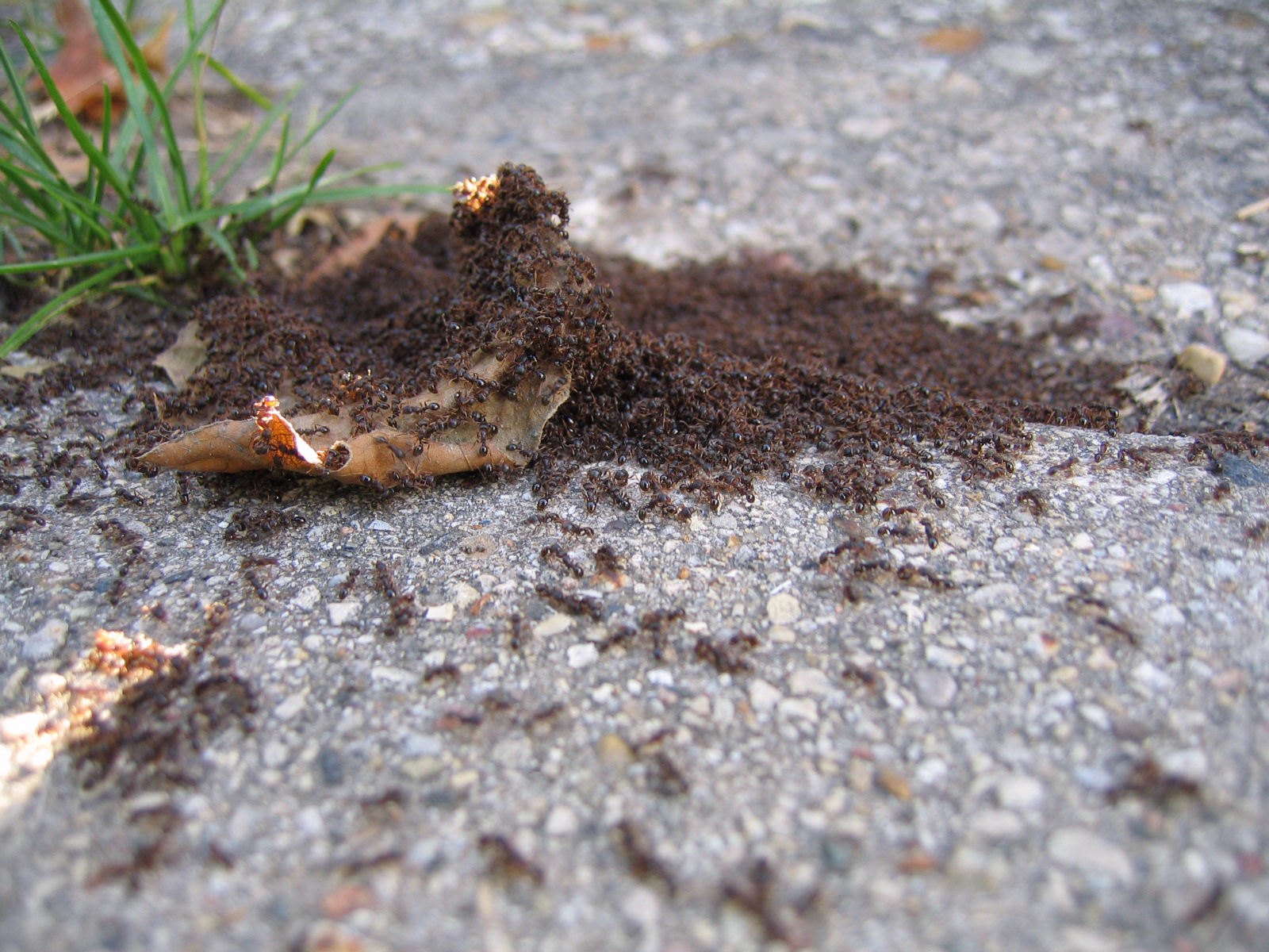 ants-invasion-1463097.jpg