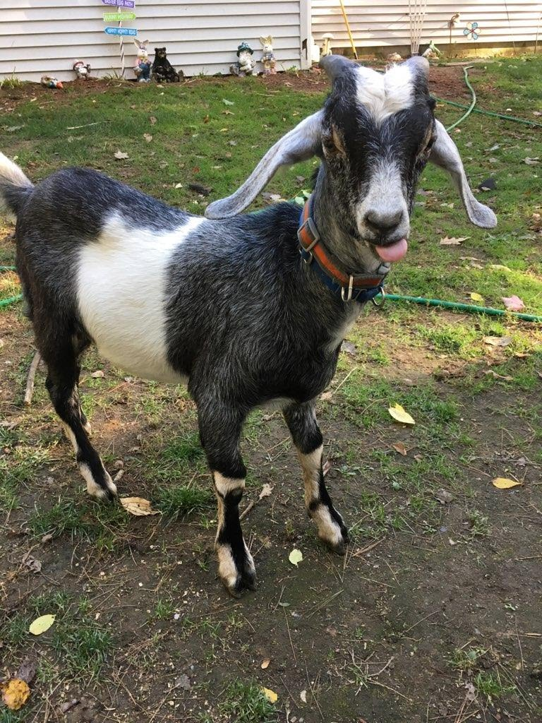 Walter is the newest member of our family. He is full of energy and love. His time with us will be short, as we have already found him a perfect purpose. He will join another single male goat as his companion. We can't wait to follow his journey!