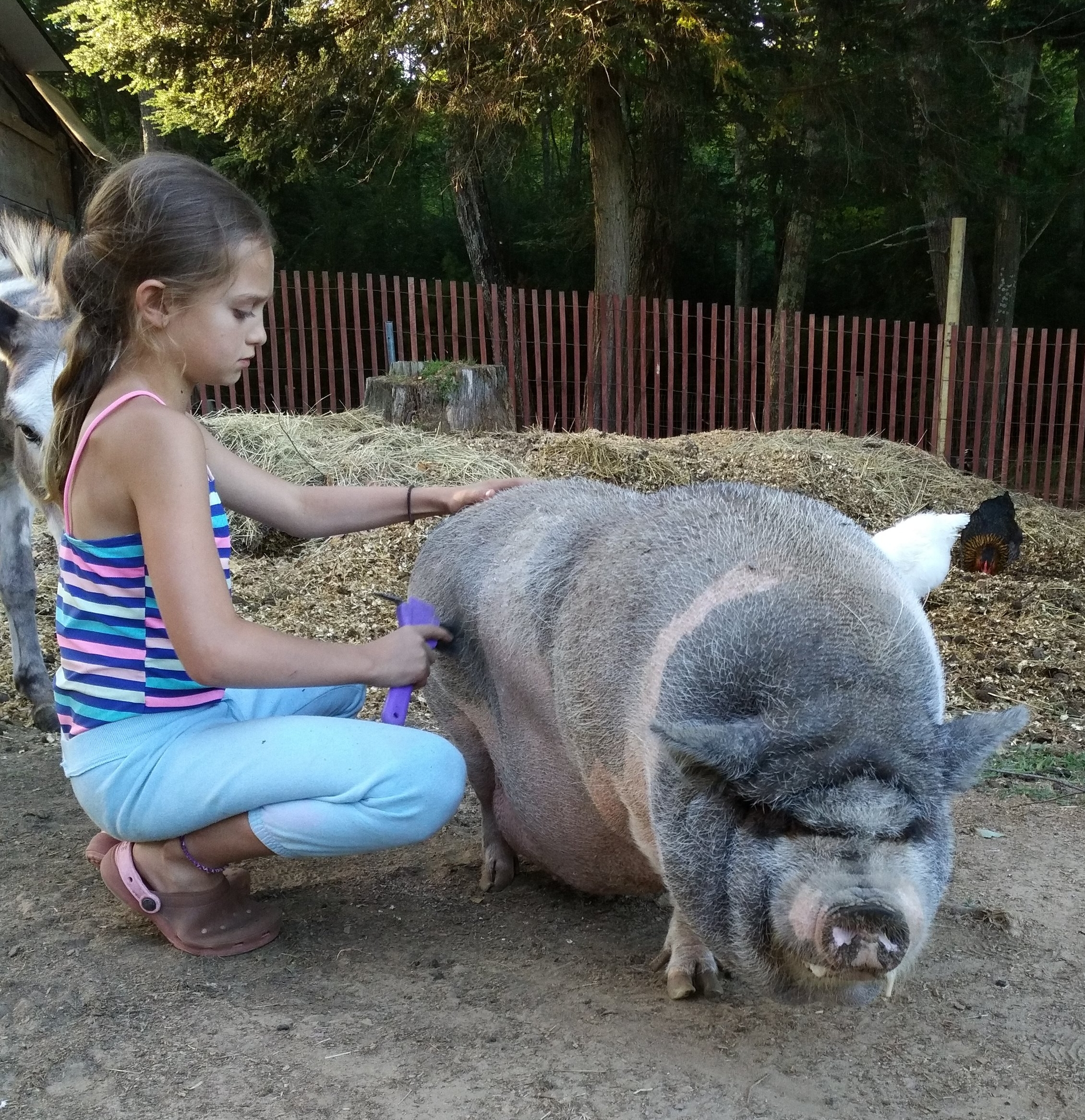 This little piggy has come so far! When we took her in she could barely walk and was VERY overweight. She now roams about the farm living the best pig life, greeting anyone she comes across.