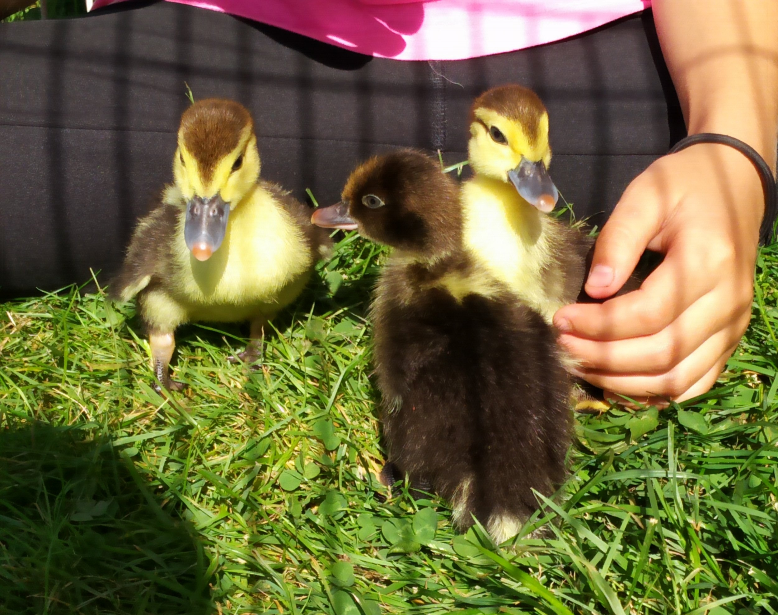 We currently have 7 ducks and 6 chickens - We also incubate and hatch our own eggs every spring and summer!