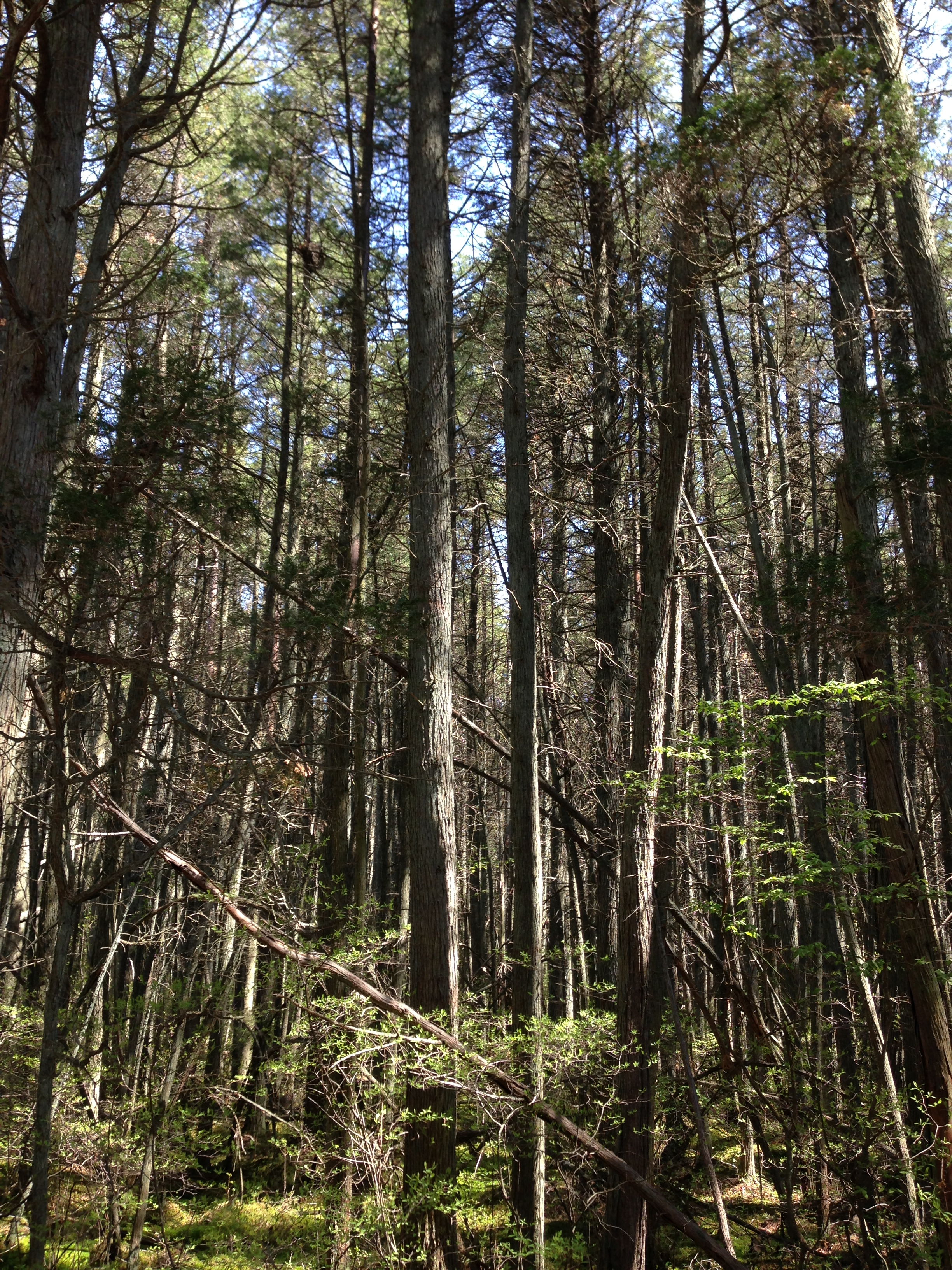 2013-05-10_11_04_57_A_dense_Atlantic_White_Cedar_swamp_along_the_Mount_Misery_Trail_in_Brendan_T_Byrne_State_Forest_in_New_Jersey.jpg