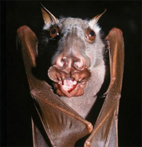 The African Hammer-headed Bat