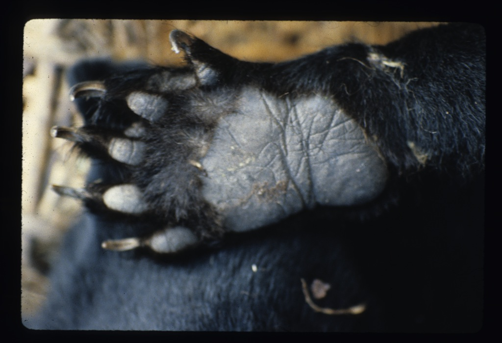 The foot of a juvenile Asiatic Black Bear. Note the thumb-like digit for tree-climbing.