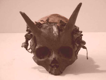 "NOT the skull of a horned giant!  This skull turns out to actually be a manufactured cult object, currently in the collection of the mysterious museum,   Surnateum  .  According to its curator,  Christian Chelman , ""It's not a giant skull but a human size ritual skull made for a Pan cult revival during the XVIIIth century at Painswick (Gloucestershire).  Yours, the Curator.""  Visit  www.surnateum.org  to see a wealth of delightfully strange and wondrous objects!"