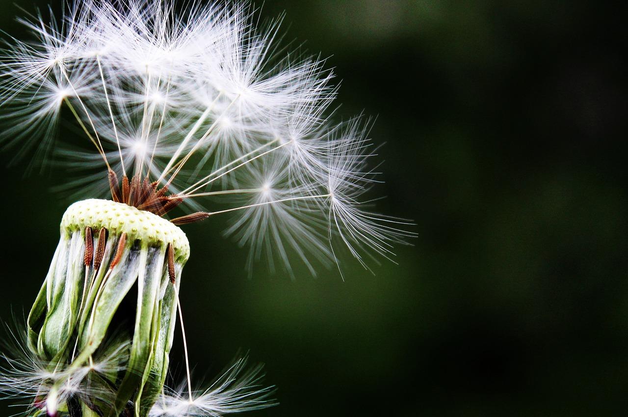 dandelion-1452219_1280.jpg