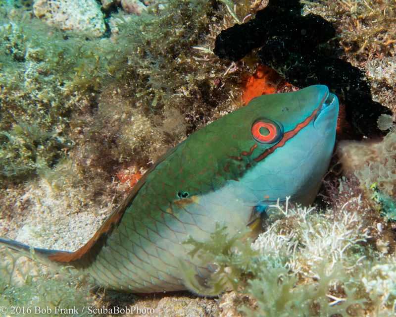 Immature Parrotfish