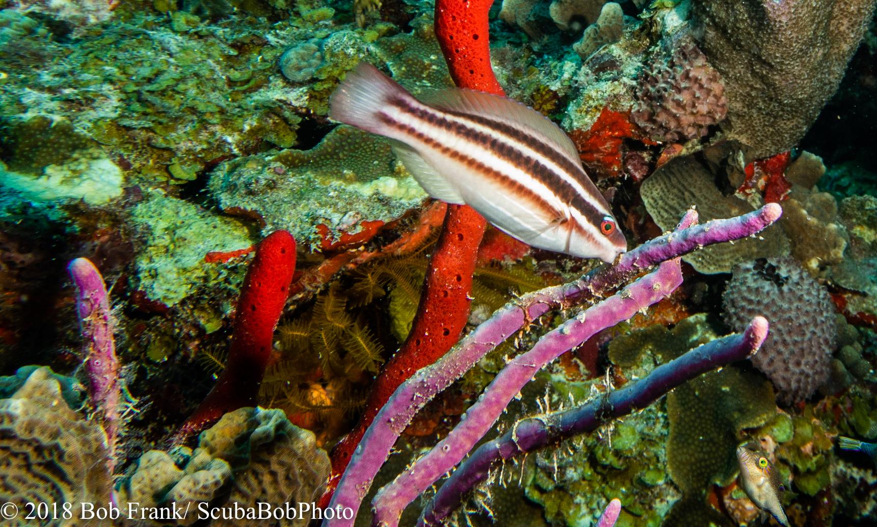 Juvenile Striped Parrotfish