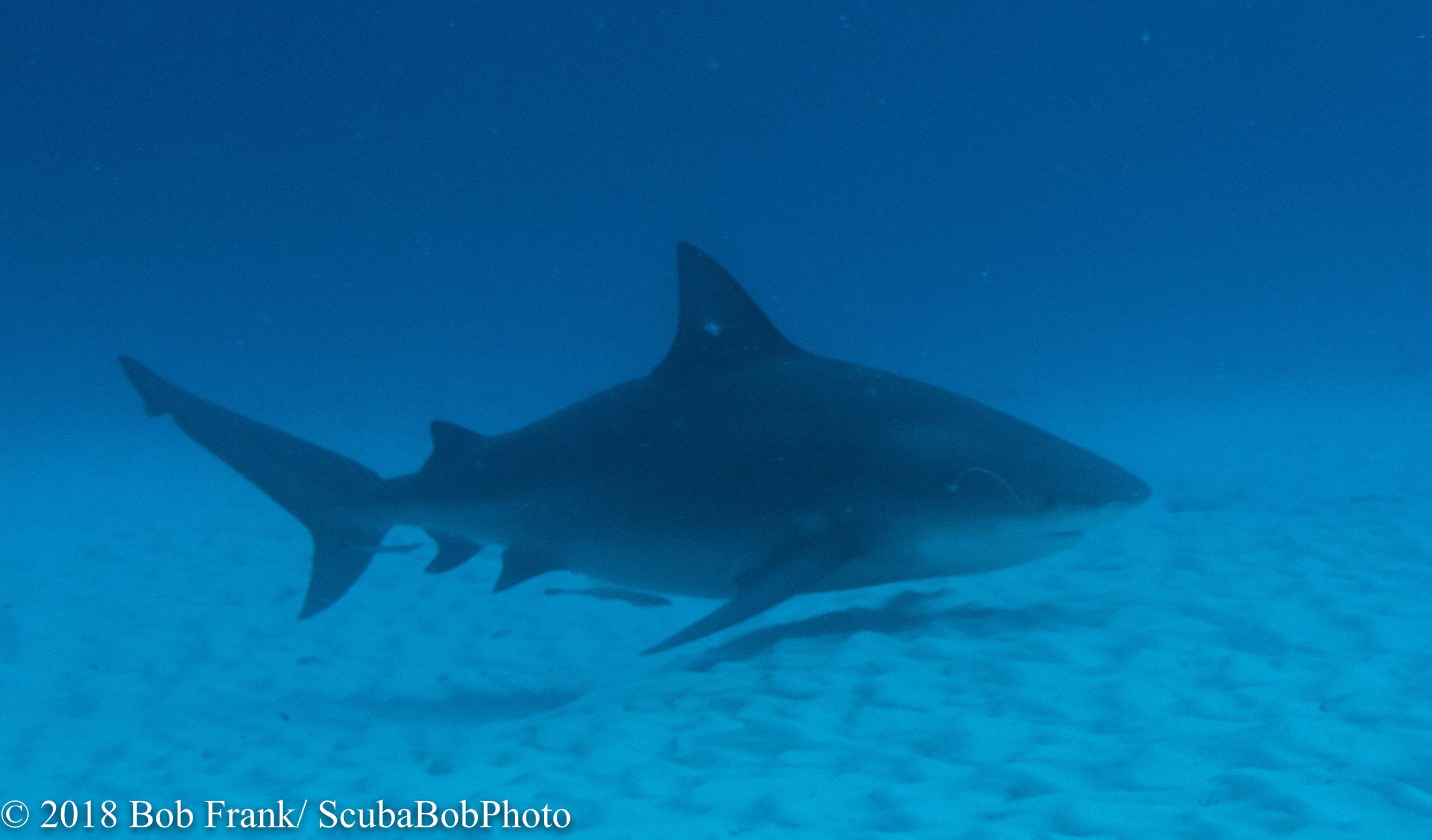 Pregnant Bull Shark at Playa del Carmen