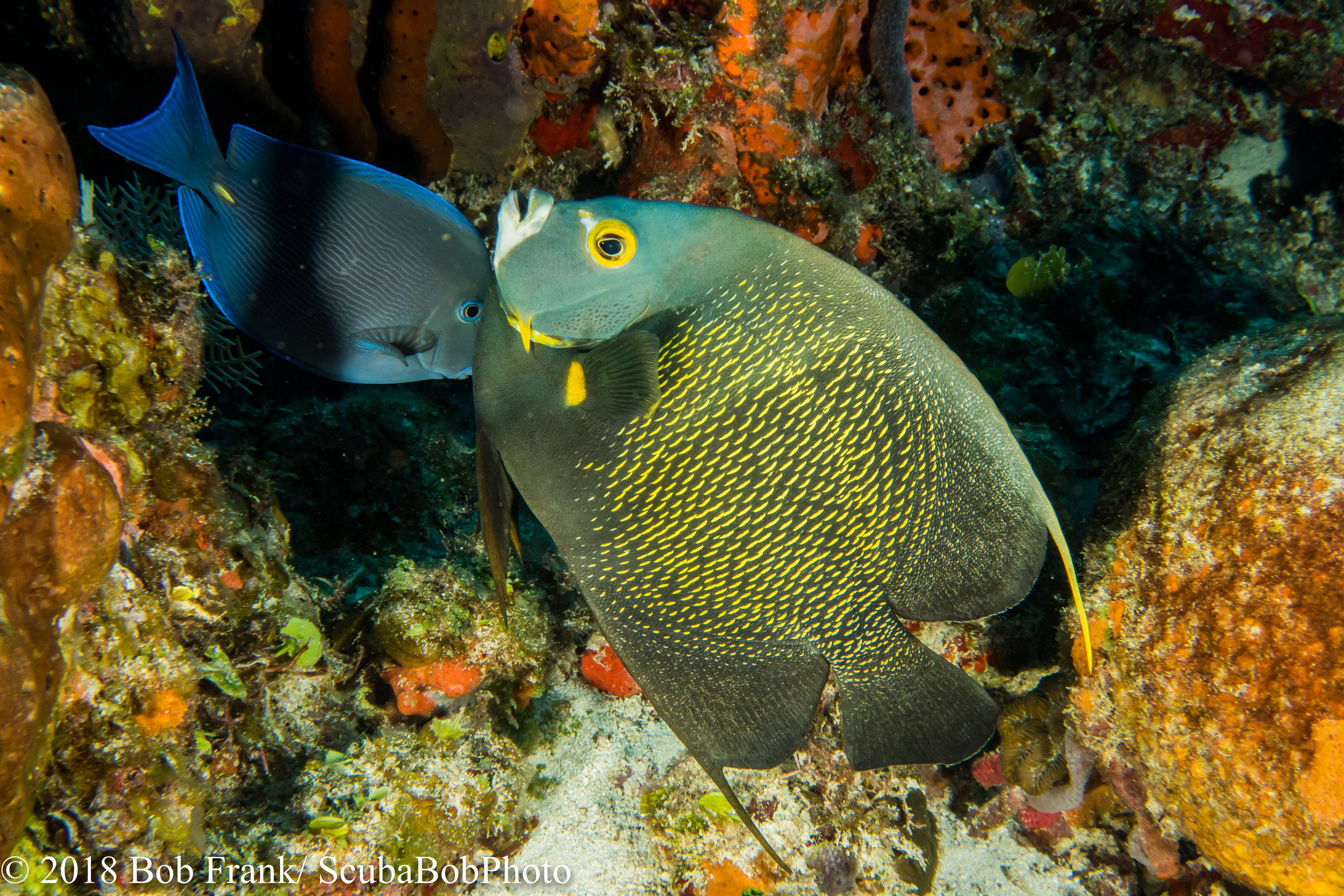 Blue Tang and French Angelfish