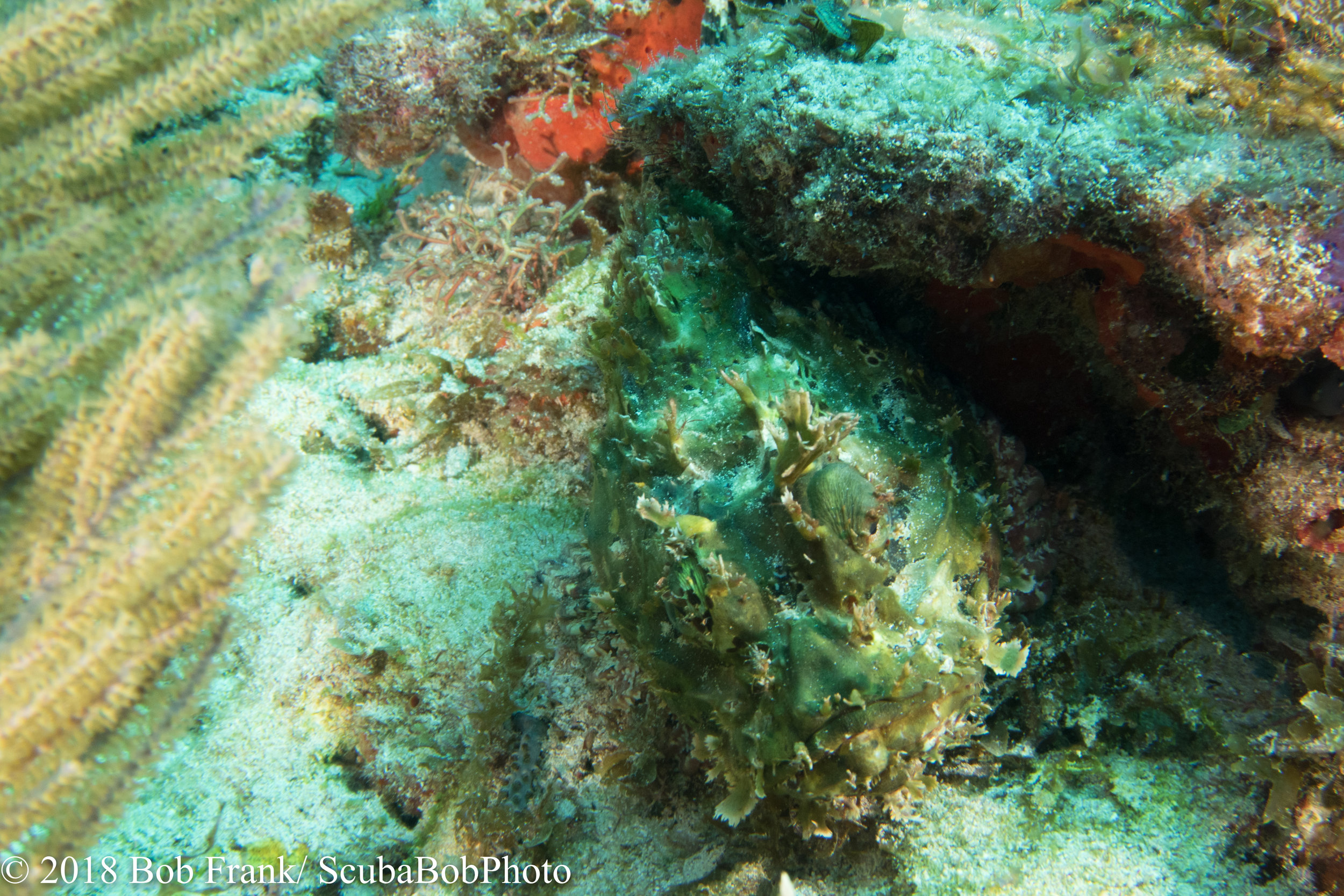 Scorpionfish--Can you find it?