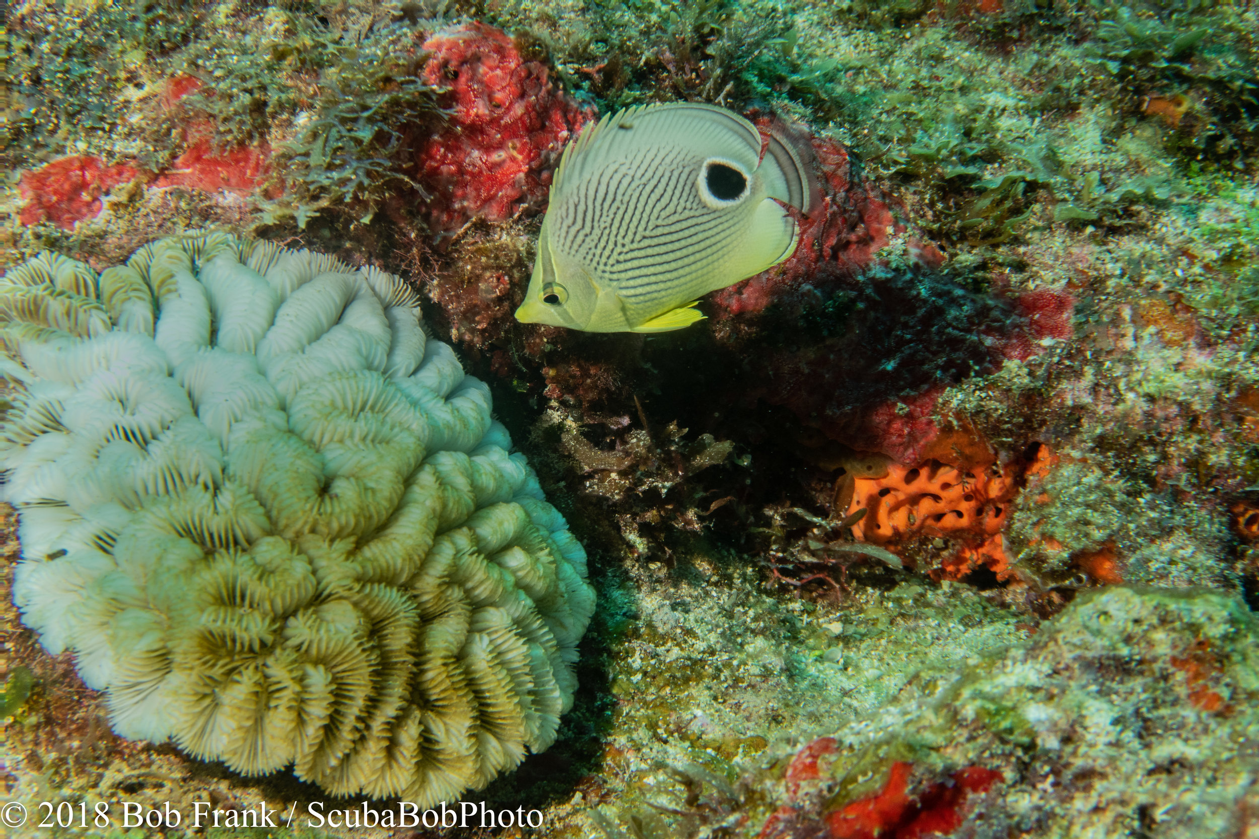 4-Eye Butterfly Fish